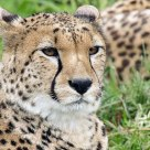 Portrait of a Cheetah (Acinonyx jubatus)